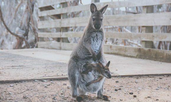 HB-article-kangourou